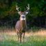Buck J